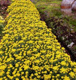 菌根イソギクによる防草菱化 雑草対策