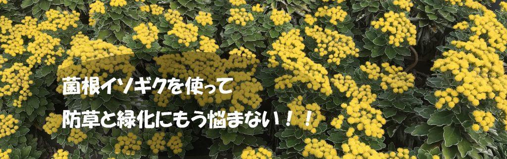 菌根イソギク 防草 緑化