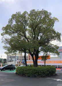 クスノキ 樹木診断調査